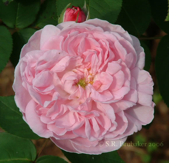 photo of rose Fantin Latour